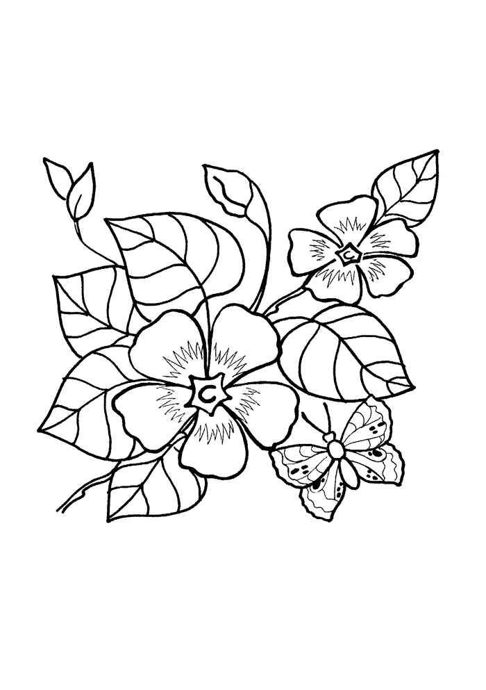 Барвинок Фото растения Барвинок малый и большой